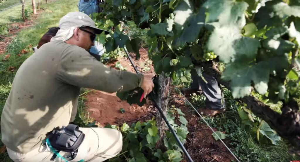 Виноград технология выращивания 30