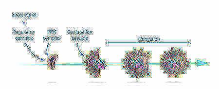 Образование фагосомы Инфографика: Нобелевский комитет