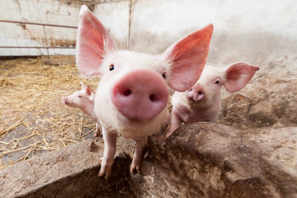 Лабиринты, свиньи на картинках