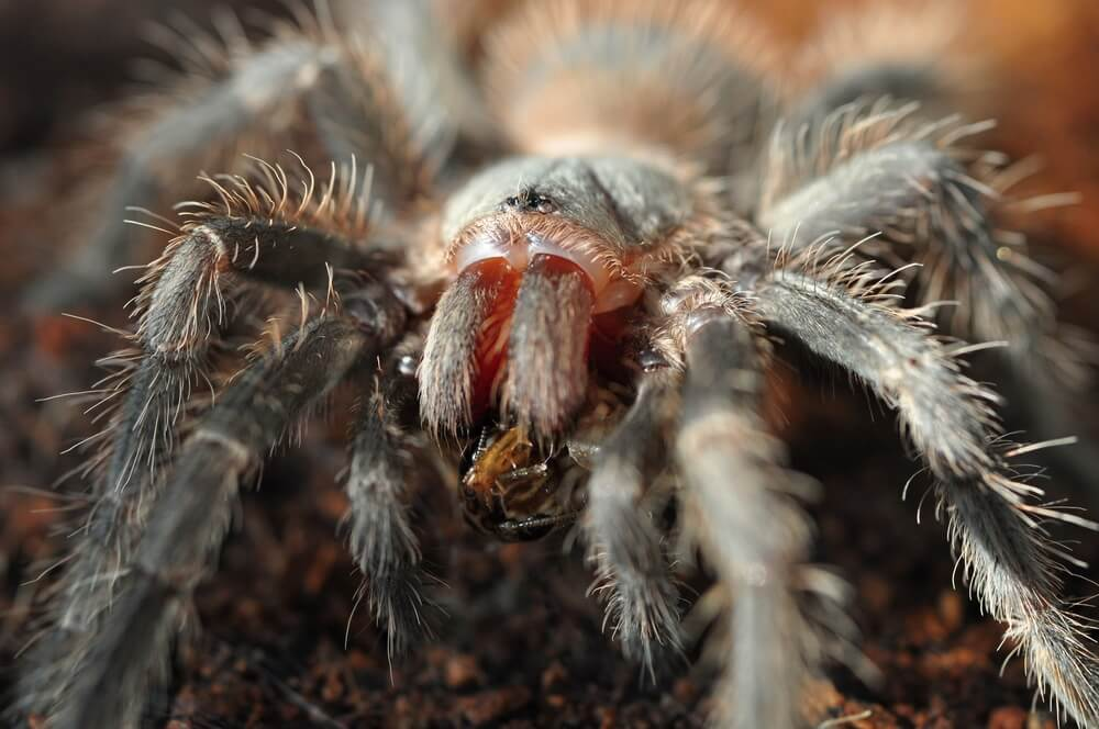Thousands Of Giant Tarantulas Attacked California What To