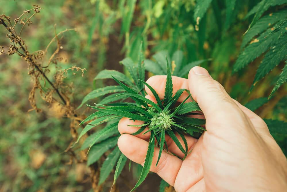 aaaa marijuana delivery